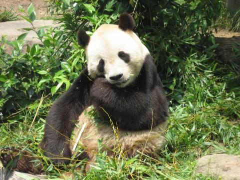 パンダの赤ちゃんはなぜ死んだのか