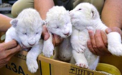 いよいよ公開!「White Lion」
